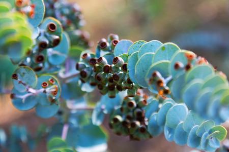 Book-leaf mallee (Eucalyptus krueseana) plant Stock Photo