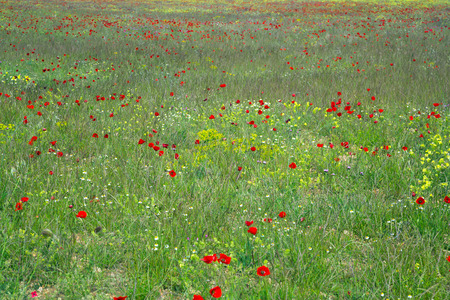 red poppy flowers on uncultivated field in sunlight on summer day