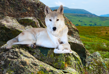White wolf lays on rock in wildness