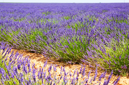 lavender coloured: field with plant of blue  lavender