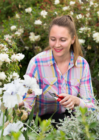 Young blond woman cuts or trims the bush  with secateur in the garden Stock Photo