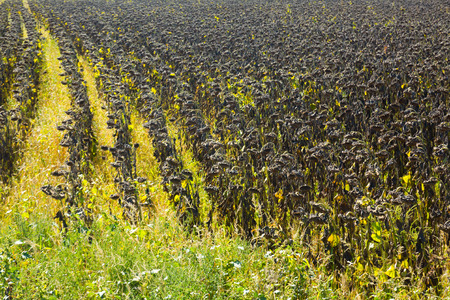 Picturesque fields of ripe sunflowers in Romania.
