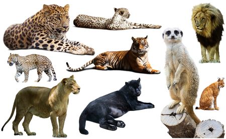 African predator animals isolated over white background, mainly Felidae