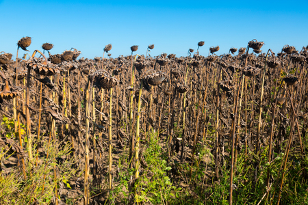 Withered sunflowers in autumn field on blue sky background Stok Fotoğraf