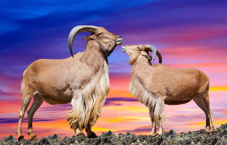 barbary: couple of  sheeps  on rock in sunset sky