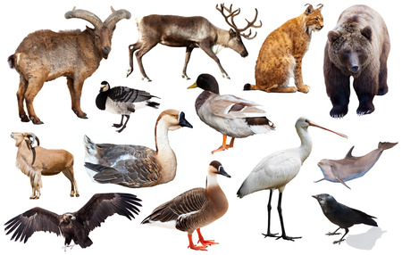 Set of various European isolated on white wild animals including birds and mammals