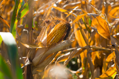 Closeup ripened corn cob on field on sunny autumn day