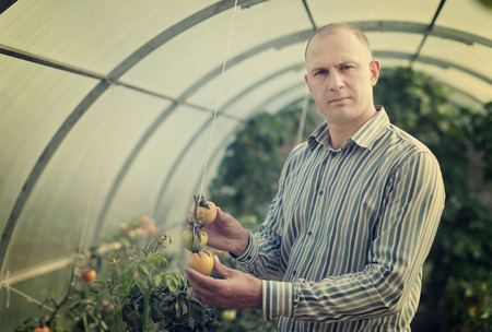 Male farmer looks tomatos plant in greenhouse Stock Photo