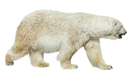 白い背景に隔離された白いホッキョクグマ 写真素材