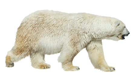 White polar bear isolated on white background Фото со стока