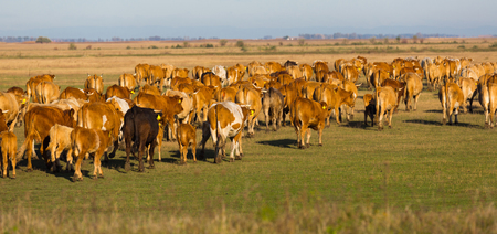 Illustration of herd of cows in the steppes of Hortobagy in Hungary.