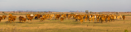 Herd of cows is grazing in the steppe of Hungary in Hortobagy outdoor.