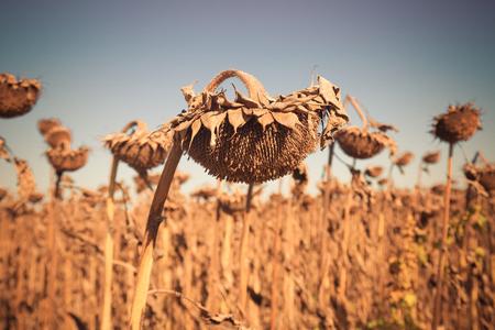 Illustration of scenics fields with ripe sunflowers in Romania. Фото со стока