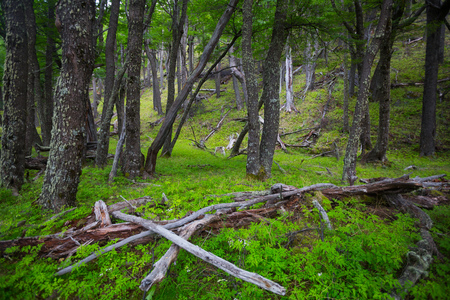 Forest at foot of Andes mountains, Patagonia, Santa Cruz, Argentina, South America