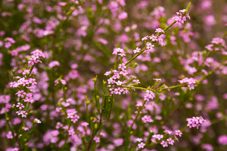 Close up of small pink flowers confetti bush coleonema pulchellum close up of small pink flowers confetti bush coleonema pulchellum stock photo 94098852 mightylinksfo