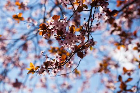 Beautiful cherry orchard with flowers in bloom  Banco de Imagens