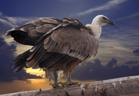 Griffon vulture sitting on wood trunk  against sunset sky background