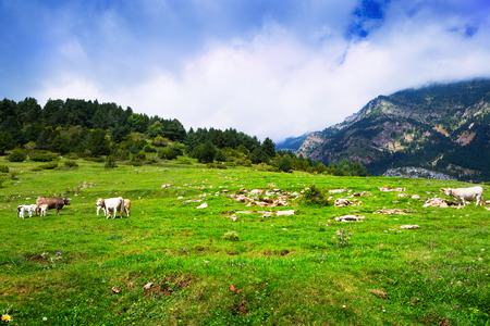 Summer view of highland meadow with cows. Pyrenees, Catalonia Stock Photo
