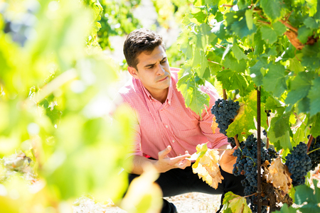 Young man harvesting ripe grape in farm at summertime