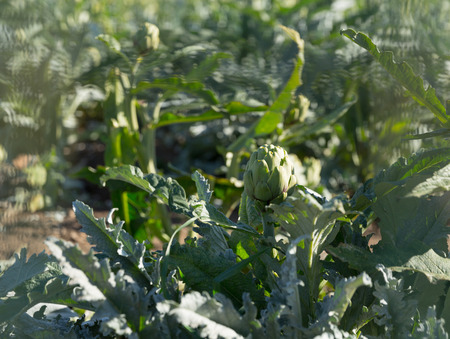 Closeup of green artichoke with ripe bud growing on field on sunny day
