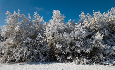 Winter landscape with pine forest in the snow at sunny frozen day Stock Photo