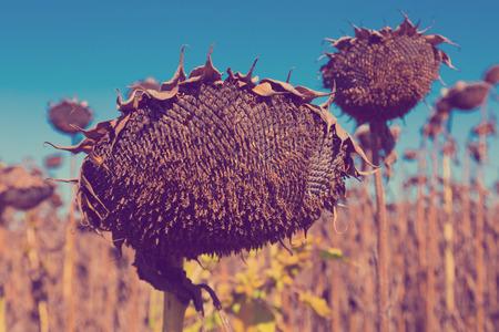 Illustration of scenics fields with ripe sunflowers in Romania. Фото со стока - 97906562