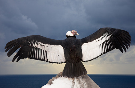 Andean condor on rock against sky background Stock Photo
