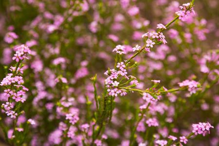 Close up of small pink flowers confetti bush coleonema pulchellum close up of small pink flowers confetti bush coleonema pulchellum stock photo 100063784 mightylinksfo