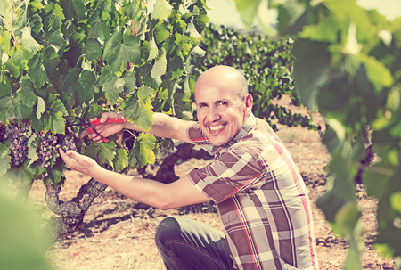 Smiling mature man working on collecting ripe grapes on winery yard