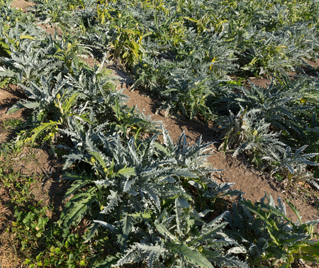 Large plantation of green ripe artichokes in sunny day