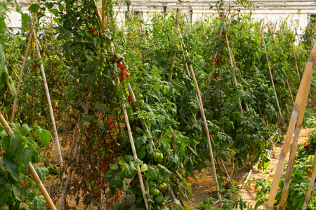 Image of seedlings and tomatoes growing on branch in hothouse Stock Photo