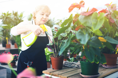 Adult diligent efficient  glad female gardener is processing flowers with substances in greenhouse. Stockfoto