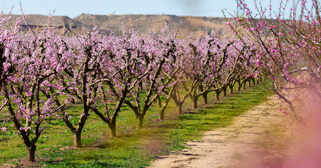 Richly blooming peach trees garden in sunny spring day