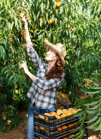 Successful female owner of orchard gathering harvest of ripe peaches on sunny day