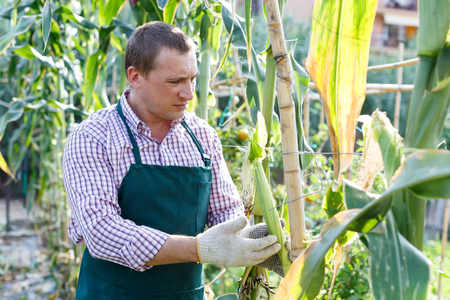 Worker controlling growth of corn in plants on his plantation Stock Photo