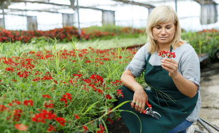 Mature woman florist with scissors taking care vervena plants in greenhouse indoors