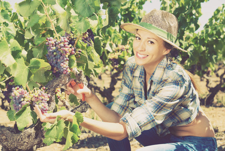 Young charming woman picking ripe grapes on vineyard on sunny day Stock Photo