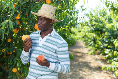 African-American man gardening in his orchard, picking fresh ripe peaches