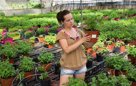 Young female worker arranging peppermint while gardening in greenhouse Imagens