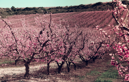 Plantation of blossoming peach trees in spring