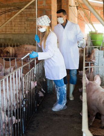 Veterinarians are going to make injection with drug to domestic pigs in sty Stock Photo