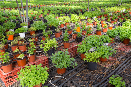 Picture of seedlings of spearmint  growing in pots in sunny greenhouse