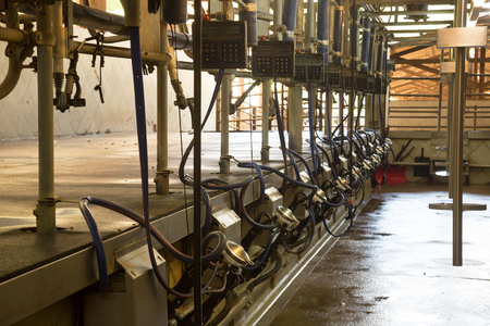 Automated milking line for cows on modern dairy farm