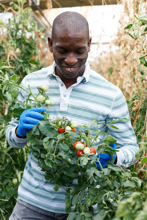 Satisfied skilled male farmer checking bushes and harvest of tomato plants in hothouse 写真素材