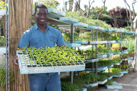 Portrait of African American man gardener holding crate with seedling in greenhouse