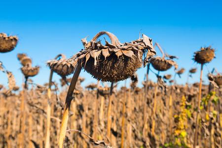 Illustration of scenics fields with ripe sunflowers in Romania. Фото со стока - 113150079