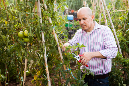 Senior man tending and cultivating tomatoes at glasshouse, trimming plants