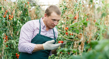 Man gardener attentively working with harvest of tomatoes  in  greenhouse indoor