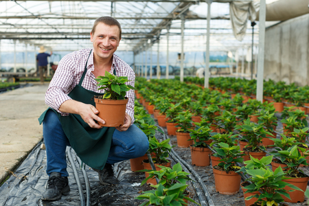 Male worker arranging  poinsettia pulcherrima herbs while gardening in greenhouse indoor