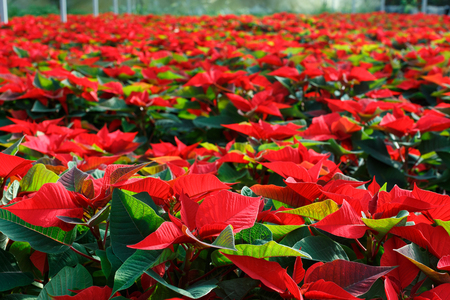 Closeup of colorful flowering Poinsettias pulcherrima plants